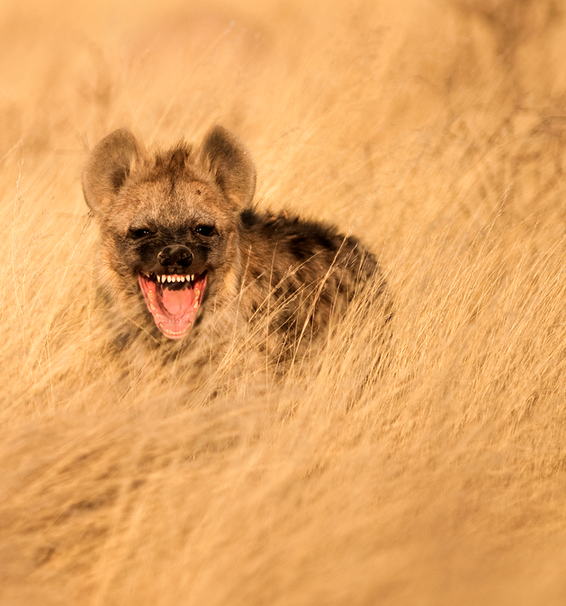 Laughing Hyena by Bridgena Barnard