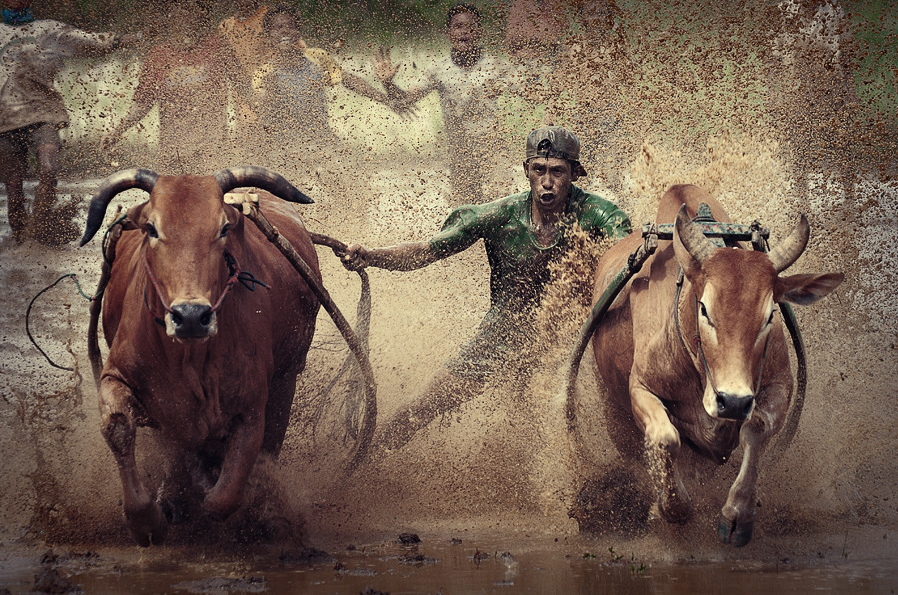 Pacu Jawi ( Cow Racing ) by adib muhandis
