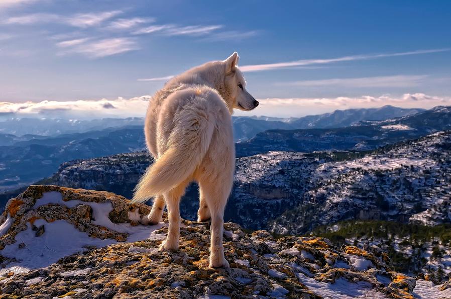 Siberian Husky by Rafael Tamajón