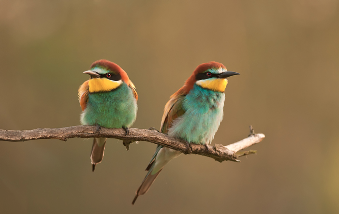 Bee-eater pair by Csilla Zelko