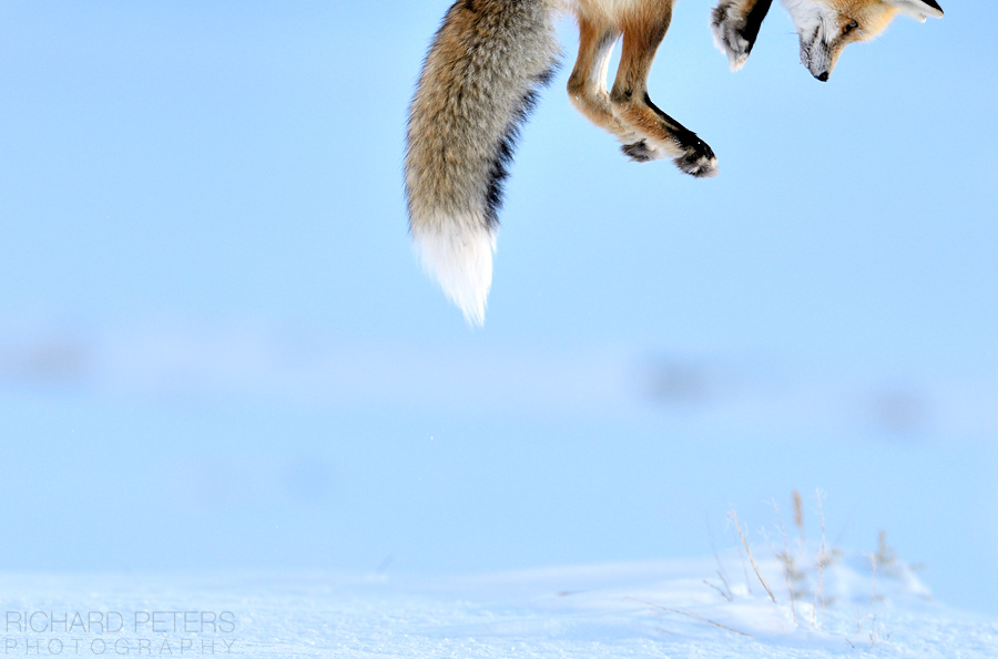 Snow Pounce by Richard Peters