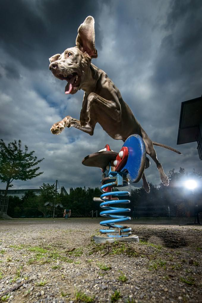 jumping weimaraner dog by Klaus Dyba