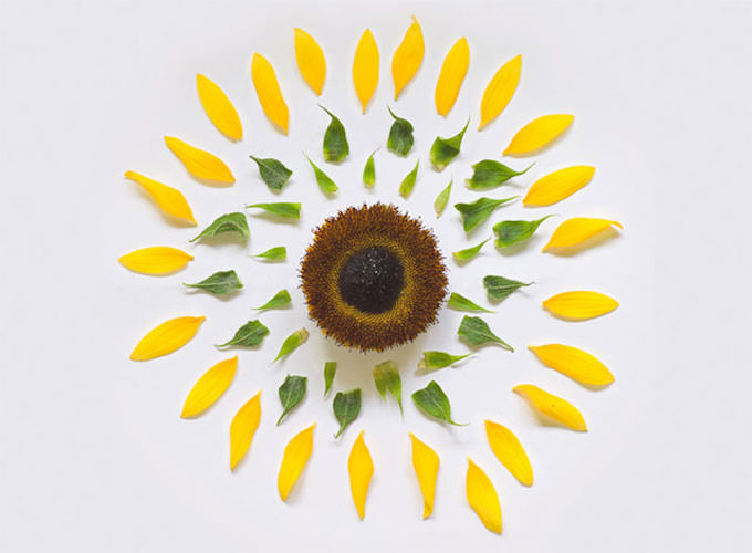Exploding Flowers (Sunflower) by Fong Qi Wei