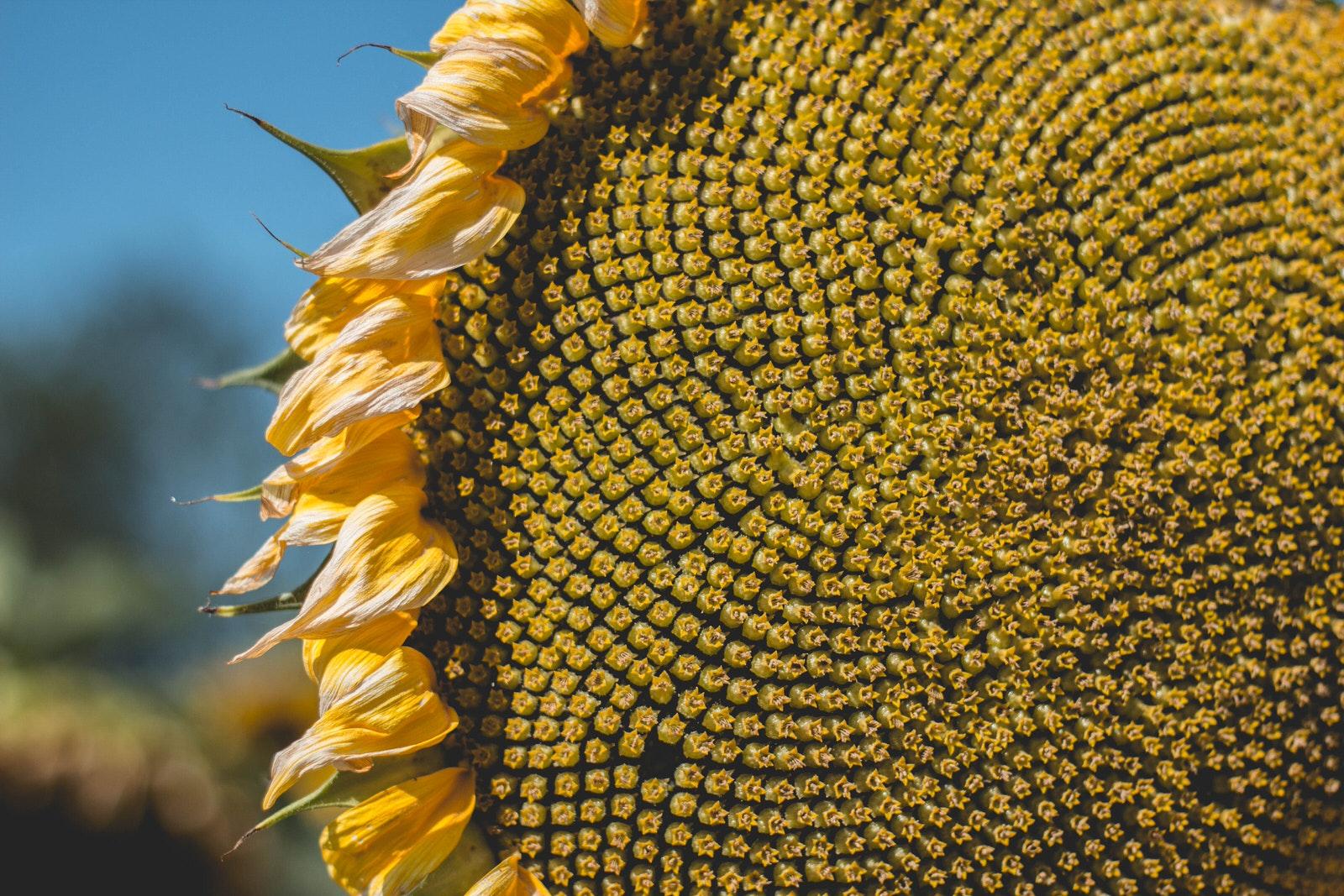 Fibonacci Sequence Sunflower